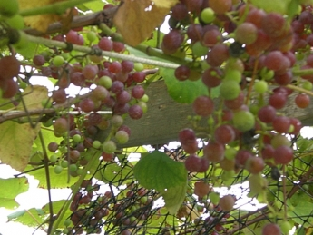 grapes on the clothesline